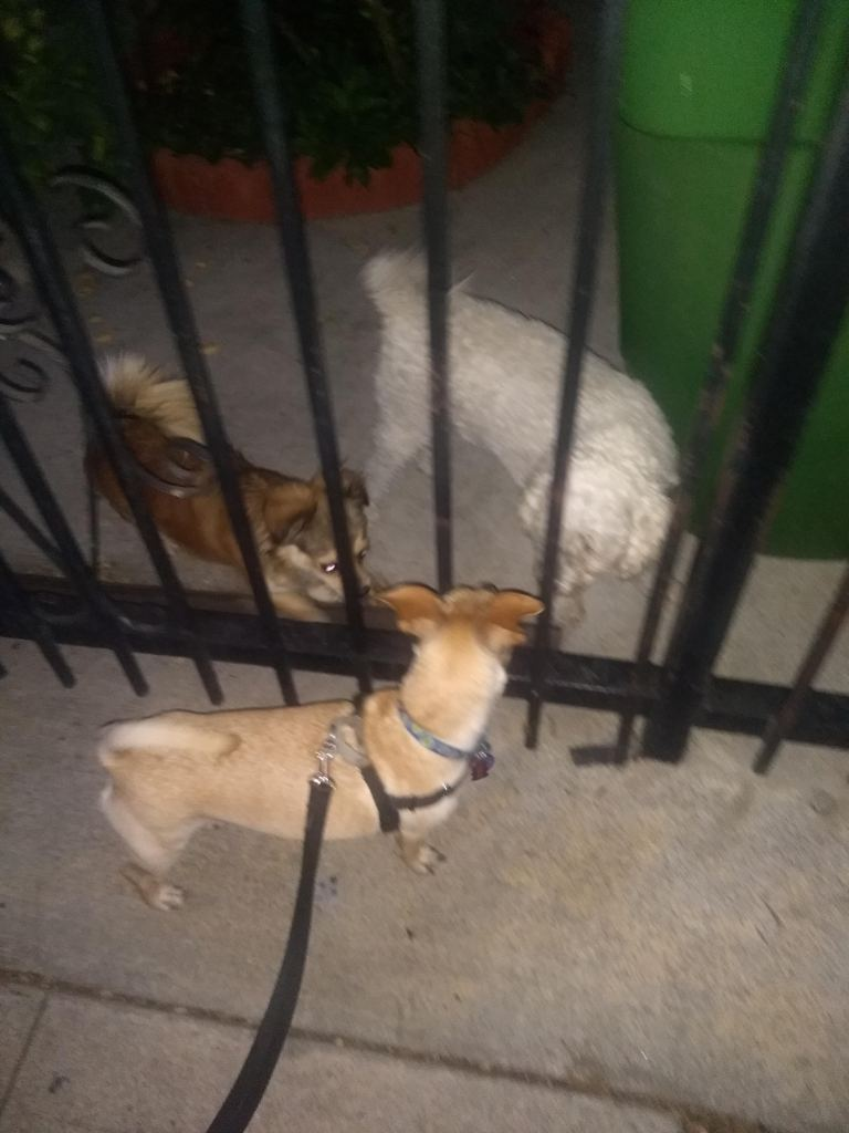 A tan chihuahua mix dog with  black leash and harness stands on one side of a metal fence with two dogs:  a brown and black terrier mix and a shaved white poodle stand on the other side of the fence.
